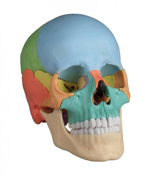 Osteopathie-Schädelmodell 22-teilig