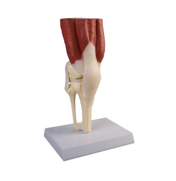 Kniegelenk mit Muskulatur