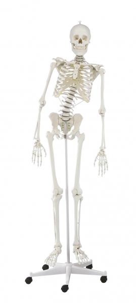 """Skelett """"Hugo"""""""