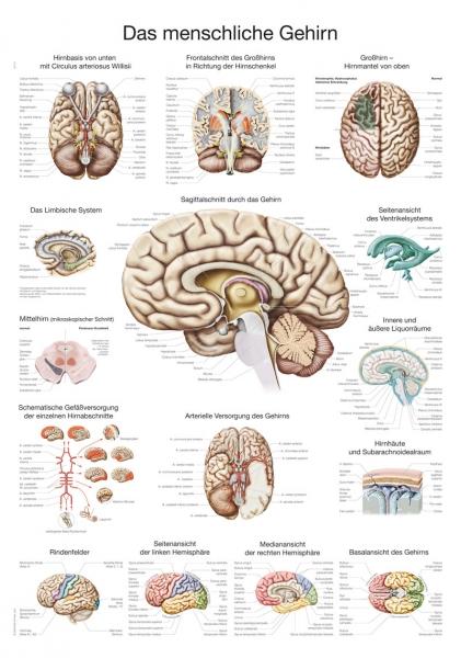 """Lehrtafel """"Das menschliche Gehirn"""""""